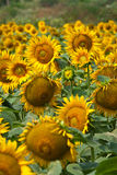 słonecznika zmierzch Obrazy Stock