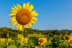 Słoneczniki w polu Obrazy Royalty Free
