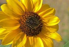 słonecznikowy kolor żółty Obraz Royalty Free