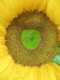 Słonecznikowy pistil Obraz Royalty Free