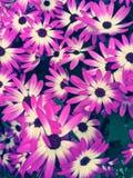 Sonetti flowers, bright pink. Flowering sonetti flowers in the garden Royalty Free Stock Image