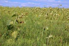 Sonflower ed erbacce Fotografie Stock Libere da Diritti