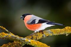 Sonfvogel in de groene bos Rode zitting van de zangvogelgoudvink op gele korstmostak, Sumava, Tsjechische republiek Het wildscène royalty-vrije stock afbeelding