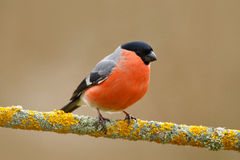 Song bird in the nature. Bullfinch, red bird. Song bird in the nature. Bullfinch, red bird, Germany Royalty Free Stock Photos