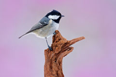 Song bird with pink background. Coal Tit, songbird sitting on beautiful lichen branch, animal in the nature habitat, Germany. Smal Stock Photo