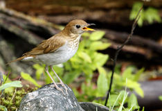 Song Bird of Spring. Wood Thrush a Song Bird in Spring On rock in the woods Royalty Free Stock Photography