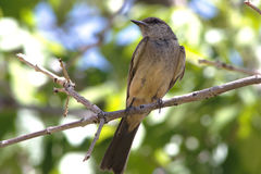 Say's Phoebe songbird perched in a tree. An adult Say's Phoebe in a backyard tree during a hot summer day in albuquerque new mexico Royalty Free Stock Photography
