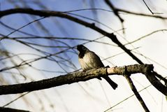 Song birds tree branches blue skies clouds white bird black head. White bird black head song bird sitting on branch blue skies with clouds sun shinning royalty free stock photos