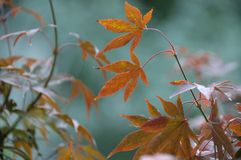 Song of Color. Leaves of Japanese maple in Autumn stock images