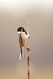 The song of a common reed bunting. On a reed Royalty Free Stock Photo