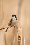 The song of a common reed bunting. On a reed stock photo