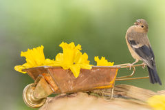 Song of flowers. Close up of young bullfinch standing on  on a wheelbarrow with daffodil flowers  with open mouth Royalty Free Stock Photo