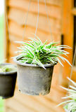 Song of India plant. In the flower pot Stock Image