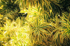 Song of India tree foliage. Dracaena reflexa, commonly called pleomele or song of India, is a species of Dracaena which is a tropical tree Stock Photo