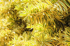 Song of India tree foliage. Dracaena reflexa, commonly called pleomele or song of India, is a species of Dracaena which is a tropical tree Royalty Free Stock Photo