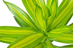 'Song of Jamaica' plant. Dracaena reflexa (scientific name) or 'Song of Jamaica', isolated on white background and clipping path royalty free stock photo