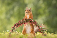 Song of joy. Close up of red squirrel behind flowers Stock Image