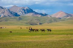 Man guiding horses, Song Kul lake royalty free stock images