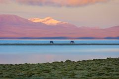 Song Kul lake with horses in sunrise. Song kul lake with two horses and purple mountain in background in sunrise, Kyrgyzstan Royalty Free Stock Images