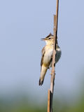 Song of perching Sedge Warbler. Perching Sedge Warbler (Acrocephalus schoenobaenus) sings. Moscow region, Russia Stock Photography