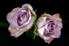 Song of roses. Close-up of bouquet pastel roses. Photography of nature Stock Images