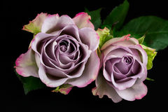 Song of roses. Close-up of bouquet pastel rose. Photography of nature stock photo