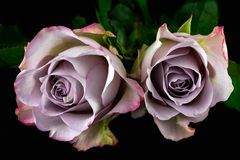 Song of roses. Close-up of bouquet pastel rose. Photography of nature royalty free stock photo