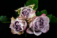 Song of roses. Close-up of lilac rose flowers. Photography of nature Royalty Free Stock Photography