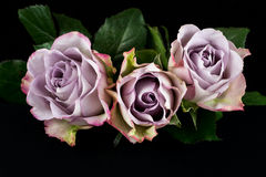 Song of roses. Close-up of pastel rose flowers. Photography of nature royalty free stock photo