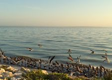 Song of the sea. Flying seagulls by the beach in Tampa Royalty Free Stock Image
