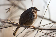 Song Sparrow. (Melospiza melodia) perched on a branch Stock Photography