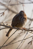 Song Sparrow. (Melospiza melodia) perched on a branch stock photo