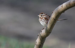 Song Sparrow Stock Images