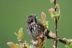 Song Sparrow. In a willow tree with bugs in his mouth Royalty Free Stock Photography