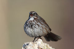 Song Sparrow. In full song in great light Stock Photos