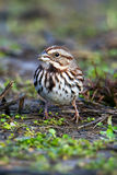 Song Sparrow. Ground feeding Stock Photography