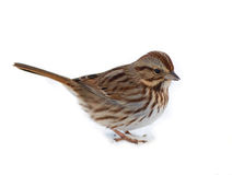Song Sparrow. Photograph of a beautifully plumaged song sparrow against a white background Stock Images