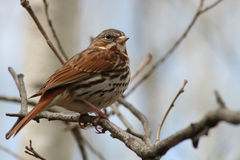 Song Sparrow. Perched in a tree Royalty Free Stock Image