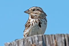 Song Sparrow. Standing sitting on a piling Stock Photography
