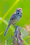 Song Sparrow. Standing sitting on some marsh grass royalty free stock images