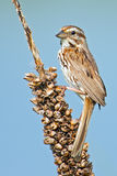 Song Sparrow. Standing sitting on a marsh weed Royalty Free Stock Photo