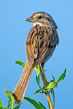 Song Sparrow. Standing sitting on a marsh weed stock image