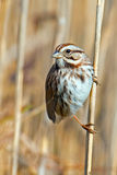 Song Sparrow. Standing on a reed along marsh royalty free stock image