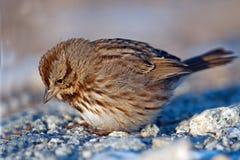Song Sparrow. Ground feeding Royalty Free Stock Photos