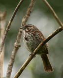 Song sparrow. Perched on branch Royalty Free Stock Image