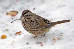 Song Sparrow. Ground feeding in the snow Stock Photo