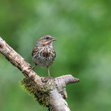 Song Sparrow. Perched on mossy branch with beak open singing royalty free stock image