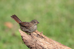 Song sparrow. Juvenile song sparrow perched on log holding one foot up Stock Image