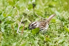 Song Sparrow. Adult Eastern Song Sparrow in the grass Stock Image