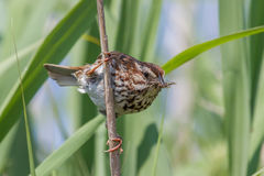 Song Sparrow. With a beak full of insects on it's way back to the nest Stock Image
